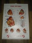 human heart 3d chart/medical wall chart/3d medical poster