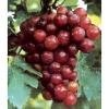TransResveratrol 99% from Grape wine