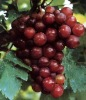 High quality Grape Seed P.E. CAS 84929-27-1