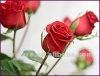 100 pure Rose oil