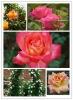 Hybrid tea rose plants