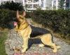 Dog mannequin#DM-10