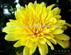 Flos Chrysanthemi Extract/Chrysanthemum Extract