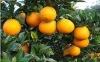 top quality orange citrus fruit