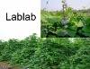 Export-oriented Forage Lablab Bean Seed Supplier