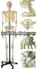 Skeletal system anatomy model
