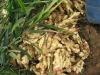 air-dried fresh ginger