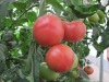 Export 2012 new crop fresh tomato
