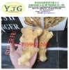 2011 harvesting ginger with size of 150g&up