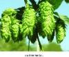 Hops P.E/ Humulus lupulus L./CAS NO.: 8007-04-3