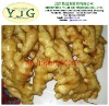 fresh mature ginger with size of 150g&up