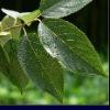 High Quality Chlorogenic Acid 85% Anti-cancer