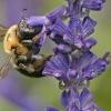 Salvia sclarea extractives