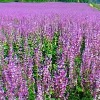 Clary sage extract