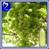 100% Fresh Grape Seed Oil