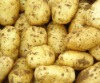 holland 7 potato