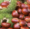 new crop fresh chestnut