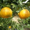 fresh kinnow orange 2012 crop