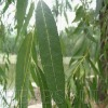Natural Aspirin from White willow extract