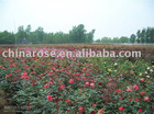 china rose from professional nurseries