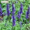 100% pure natural plant extract clary sage essential oil with high quality