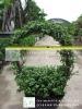 portulacaria bonsai