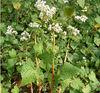 Fagopyrum Tataricum Plant Extract
