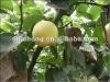 apple Chinese Fresh Crown Pear 2012