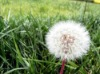 Dandelion P.E.,Dandelion extract,Flavones,Vaccinnium Macrocarpon L,Taraxacum officinale Wigg