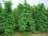 Cheap South Region Main Forage High Protein Lablab Bean Seed