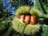 New Crop Organic Fresh Chinese Chestnut