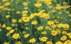 Wild chrysanthemum concrete