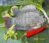 2012 yunnan whloe tilapia