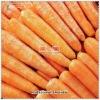 China fresh carrot