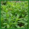 Stevia Reb A (JECFA)