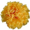 100% natural preserved carnation head