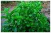 stevia powder BP98/FCCIV (Rebaudioside A 98%/Reb A98%)