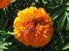 Food Grade Marigold Oleoresin