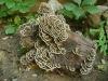 Coriolus Versicolor Mushroom P.E. 30%-50% Polysaccharide
