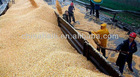 good quality raw maize at a competitive price