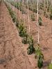 Fiber glass stakes, tree stakes, vineyard stake, grape stake