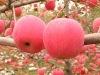 delicious fuji apple seller
