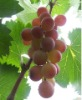 Grape seed extract proanthocyanidins