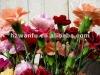 Cut Fresh Carnation