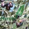olive leaf hydroxytyrosol2.5%, 10%, 20%