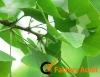 Herbal extract USP34 Ginkgo Biloba Extract