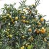 2012 fresh mandarin