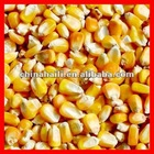 yellow corn maize for people consumption and animal feed