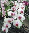 Beatiful flower Phalaenopsis Orchid White Flower & Red Center Plant