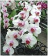 Beatiful flower Phalaenopsis Orchid White Flower & Red Center Plant
